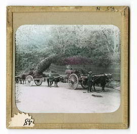 Two men leading oxen and wagons