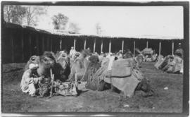 Camels loaded with bundles