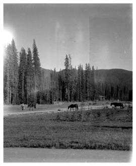 Unidentified man feeding horses