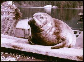 "The harbour seal, ""Charlie"""