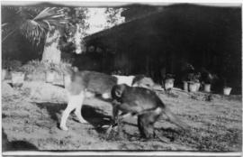 Dog playing with a monkey