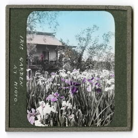 Irises in front of building