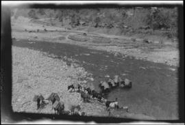 Pack animals crossing a river in the Teesta Valley