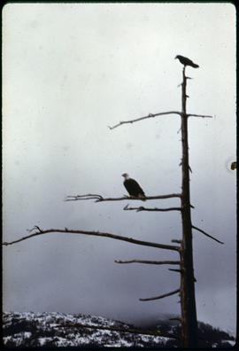 (John Kelley, Eagle + Raven, Ketchikan, Alaska
