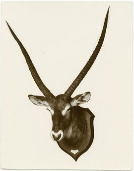 Waterbuck, Cobus [sic] defassa, shot at Kaginga, Lake Albert Edward, 13.x.06 by A[__?]
