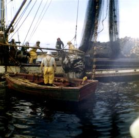 Men raising brailer of fish onto boat